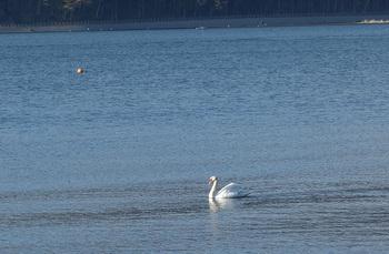 山中湖白鳥.jpg